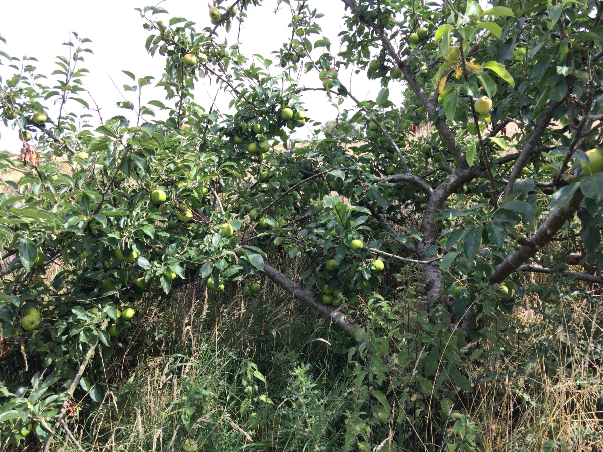 Overgrown apple tree