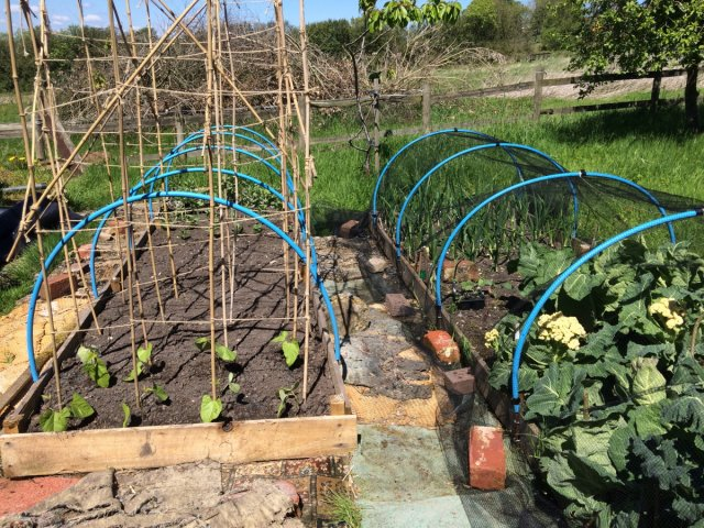 phoca thumb l Beans and autum planting