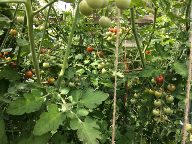 tomato vine with red and green tomatoes