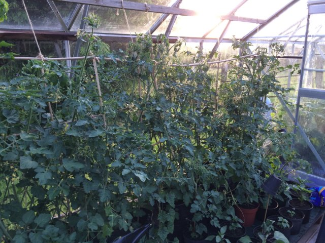 Vine tomatoes in greenhouse