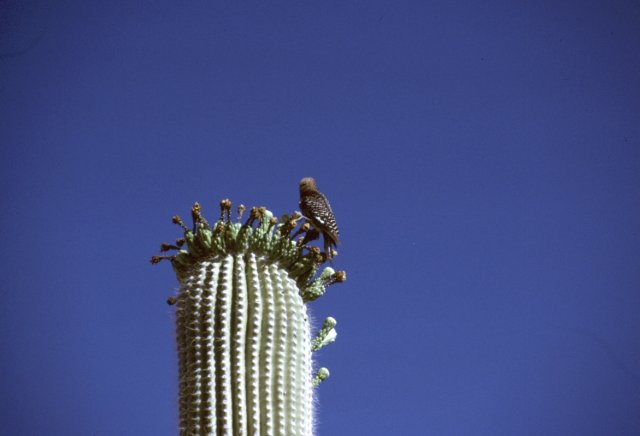 Bird perched on saguaro cactus