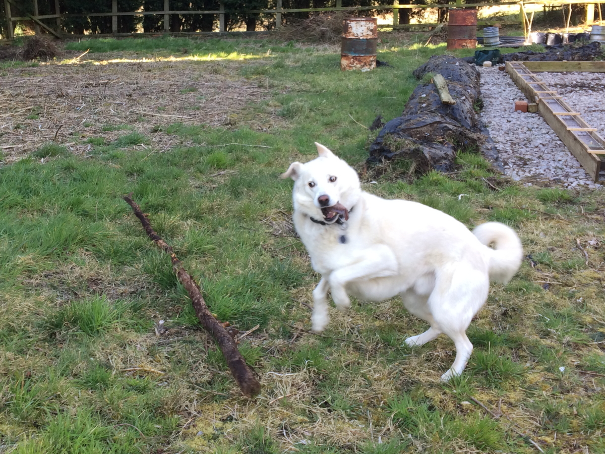 Cody playing with large stick