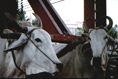 Oxen traffic on bridge