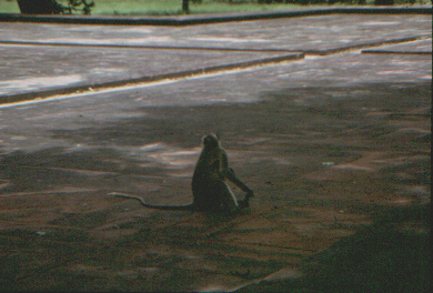Monkey in Sikandra Mausoleum