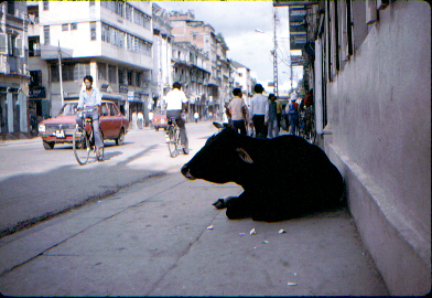 cow resting in shade in one of the main streets