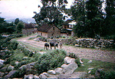 oxen with boy walking on road through villiage