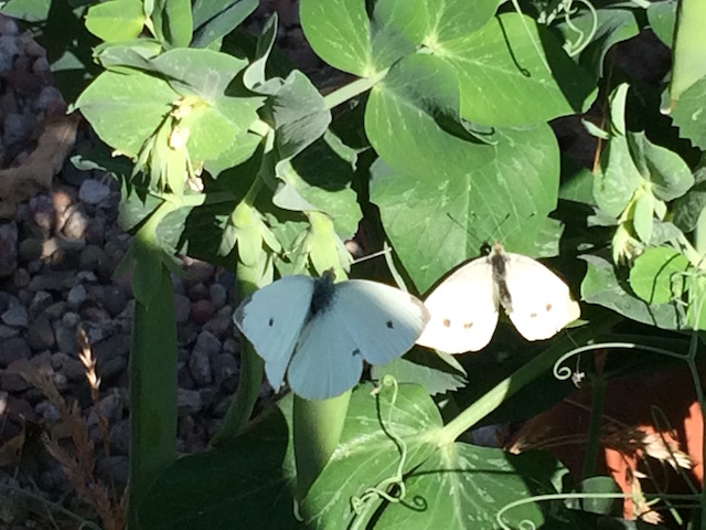 Large white butterflies on nasturtium leaves next to peas