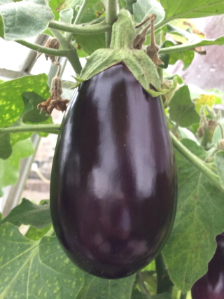 aubergine fruit